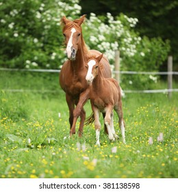 Beautiful mare with its foal running together on pasturage