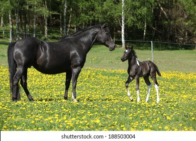 Beautiful mare with little foal together on spring pasturage