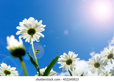 beautiful marguerite and blue sky