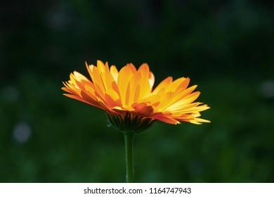 Beautiful marigold. Calendula officinalis.