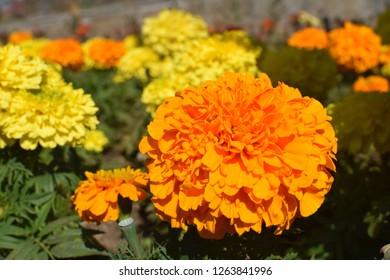 Beautiful marigold flower closeup shot.