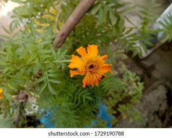 Beautiful Marigold flower. with green leaf
