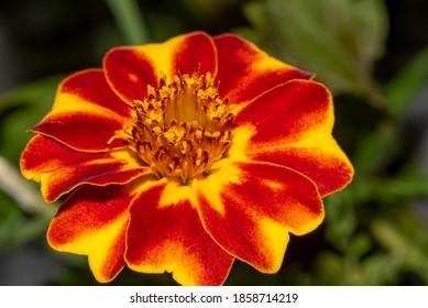 Schöne Marigold-Blume im Sommergarten. Gelbe und rote Blume mischen. Ringelblume oder Tagetkarte