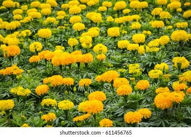 Beautiful of marigold flowers in the garden.