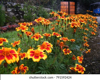 Beautiful marigold flowers in the garden,herbaceous plants in the sunflower family.
