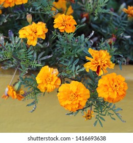 Beautiful marigold flowers in red, orange and yellow tones with orange colored background. Photographed in Funchal, Madeira, Portugal. Macro lens closeup photo of nature in Europe. Color image.