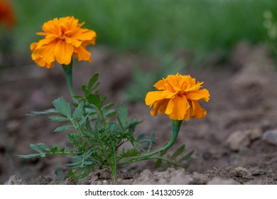 Beautiful  marigold flowers (Tagetes erecta, Mexican marigold, Aztec marigold, African marigold) with green leaves growing in a garden