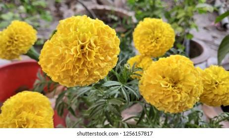 beautiful marigold of my garden