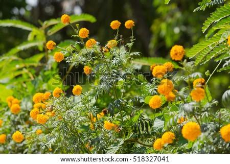 Beautiful marigold yellow flowers garden marigold stock photo edit beautiful marigold yellow flowers in the garden marigold india flower close up marigold close mightylinksfo