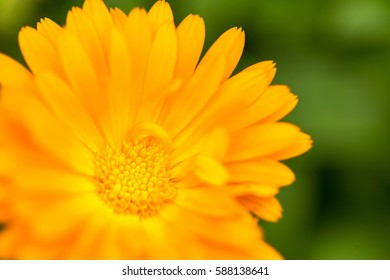 Beautiful marigolds (Calendula) in close up. Medicine flowers in big close up.