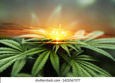 Beautiful Marijuana Art With Cannabis leaves & Sunrise High Quality