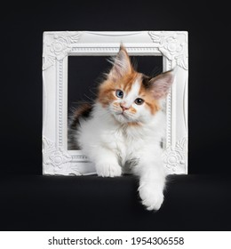 Beautiful marked odd eyed Maine Coon cat kitten, laying through white photo frame. Looking towards camera. Isolated on a black background.