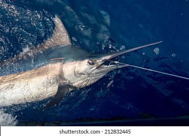 Beautiful marlin sport fishing