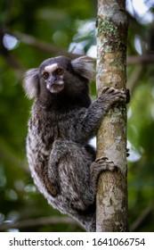 A beautiful marmoset (Callithrix jacchus)