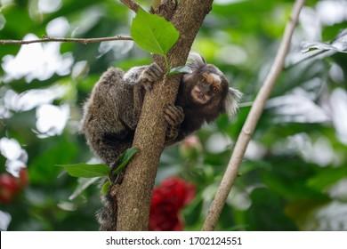 Beautiful marmoset monkey on top of tree
