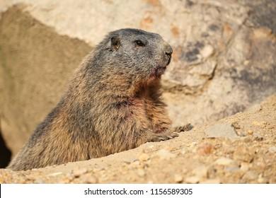 Beautiful marmot on the rocky area in the great mountain, Marmota marmota.