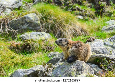 Beautiful Marmot sitting on a Rock with Background of green Grass