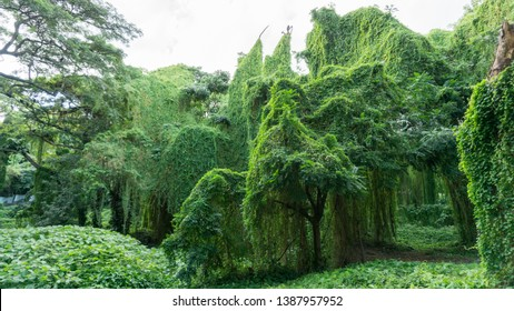 Beautiful, massive jungle trees, having large branches and lush green vegetation, covering the body of an old tree. Impressive jungle view.