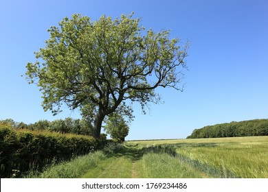 Beautiful mature Ash tree by a grassy track through arable fields in summertime