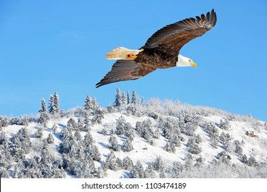 Beautiful mature Bald eagle soaring in blue sky over winter landscape on sunny winter morning,