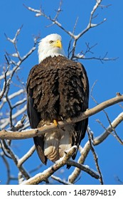 Beautiful mature Bald Eagle in winter, sitting in old poplar tree, looking down. blue sky background.