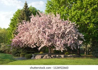 Beautiful mature flowering prairie maid crabapple tree in Minnesota