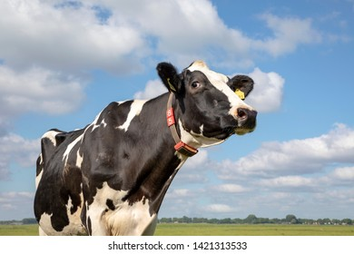 Beautiful mature large black and white cow Friesian Holstein with collar, looks thoughtfully, stands in front of a green pasture under a blue sky with white clouds and a faraway horizon.