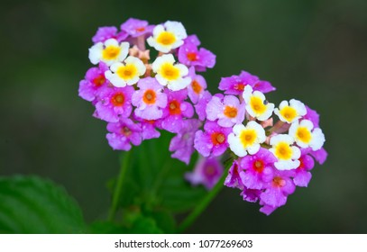 Beautiful Mauve and Yellow Lantana Camara Flowers find in Jamaica