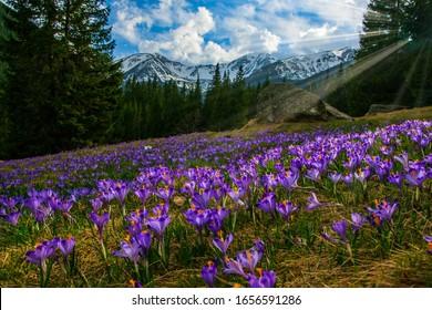 Beautiful meadow with blooming purple crocuses illuminated by sunbeams. Chocholowska valley, Tatra Mountains, Carpathians, Poland