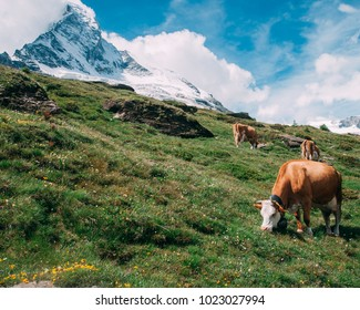 beautiful meadow with cows in Switzerland Alps against Matterhorn mountain