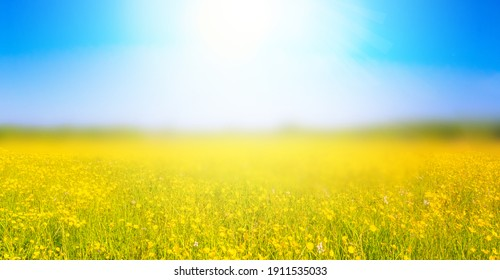 Beautiful meadow field with fresh grass and yellow  flowers in nature against a blurry blue sky with clouds. Summer spring natural landscape. Copy space for text
