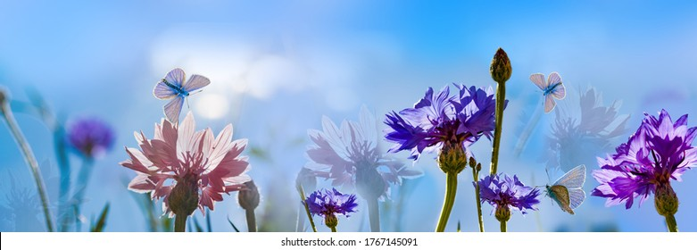 Beautiful meadow flowers cornflowers, illuminated by the sun.Butterflies fly in the morning haze close-up, macro. Wide-format landscape, panorama, copy space.