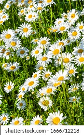 Beautiful meadow in springtime full of flowering daisies with white yellow blossom and green grass - oxeye daisy, leucanthemum vulgare, dox-eye, common daisy, dog daisy, moon daisy - concept garden