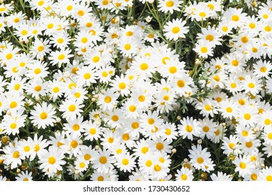 Beautiful meadow in springtime full of flowering daisies with white yellow blossom