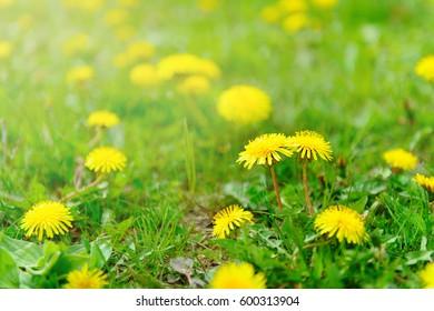Beautiful meadow with yellow dandelion flowers