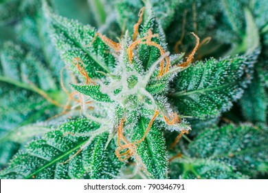 beautiful medical cannabis macro marijuana plant in greenhouse