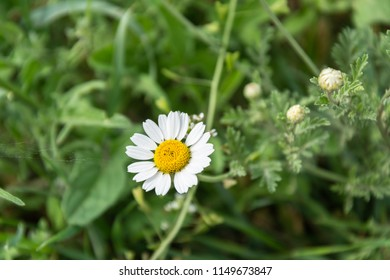 Beautiful medical daisy on grass background