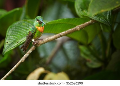 Beautiful medium-sized hummingbird, shining grass green with rufous breast band female Gould's Jewel-front Heliodoxa aurescens perched on twig. Green forest background.