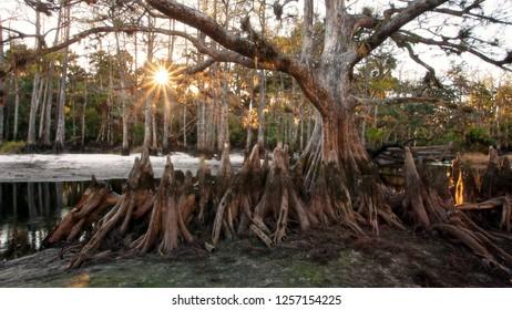 The beautiful Memorial Tree, a massive bald cypress, and Fisheating Creek, at dawn in wild Florida.