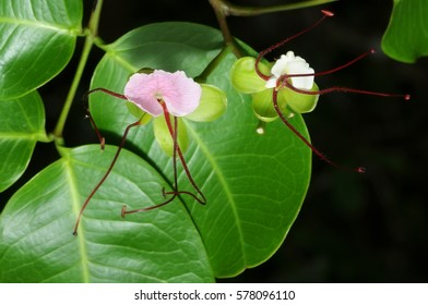 Beautiful Merbau Ipil (Intsia bijuga) flower and leaves in mangroves forest in Malaysia. (Selective focusing)