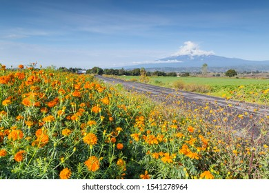 Beautiful mexican cempasuchil flower ground. Typical day of The dead flower.use on offerings or altars of the day of the dead.