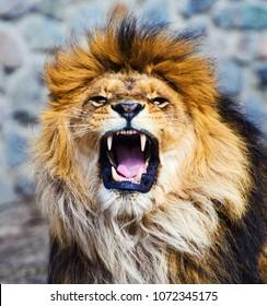 Beautiful Mighty Lion