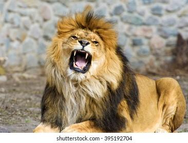Bildergebnis für roaring lion images