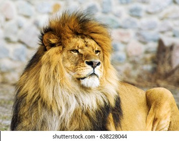 Beautiful Mighty Lion