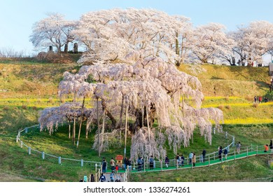 Beautiful Miharu Takizakura, a thousand-year-old cherry blossom tree, blooms on a hillside & tourists walk under & admire the giant Sakura on a spring morning in Koriyama countryside, Fukushima, Japan