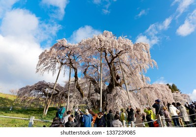 Beautiful Miharu Takizakura, a thousand-year-old cherry blossom tree, stands on a hill & tourists gather around to take photos & admire the giant Sakuta tree, in Koriyama countryside, Fukushima, Japan