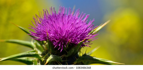 Beautiful milk thistle flower with blue and yellow background, Silybum marianum