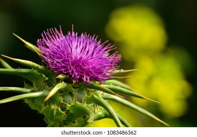 Beautiful milk thistle flower in foreground, Silybum marianum in full splendor