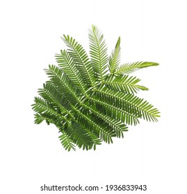 Beautiful mimosa branch with green leaves on white background