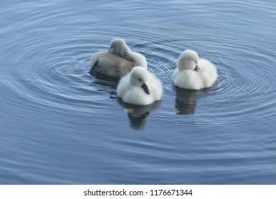 beautiful mini swans
